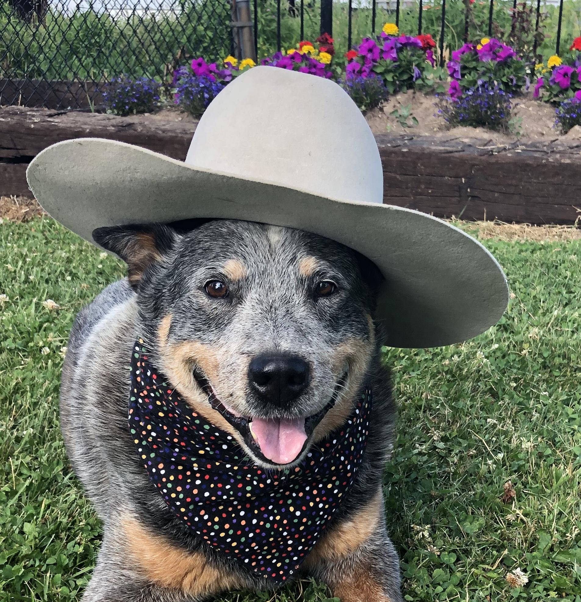 Australian Cattle Dog in Cowboy Hat